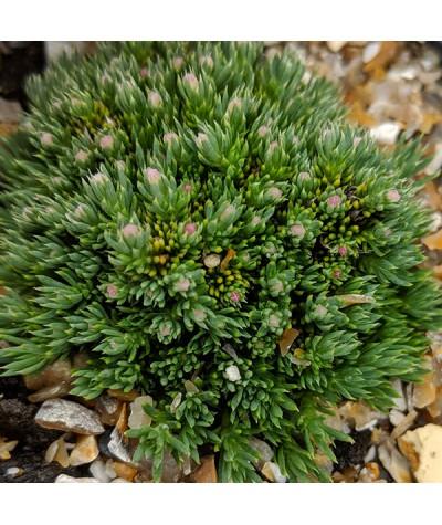 Asperula nitida (0.75lt)