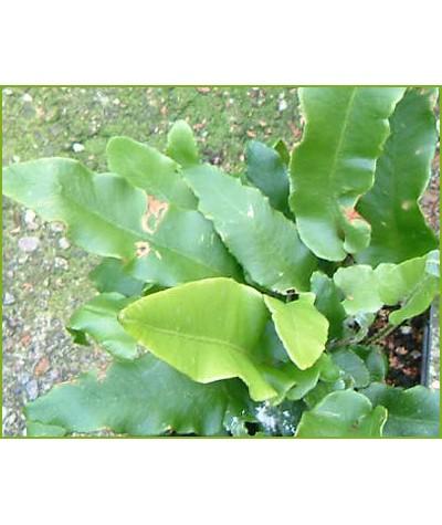 Asplenium scolopendrium (2lt)