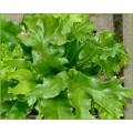 Asplenium scolopendrium Cristatum Group (1.5lt)