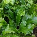 Asplenium scolopendrium Cristatum Group (1lt)
