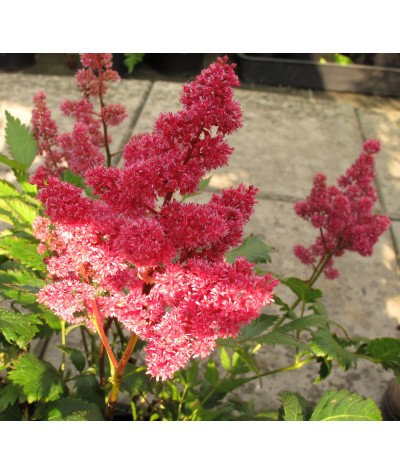 Astilbe chinensis Vision in Pink (2lt)