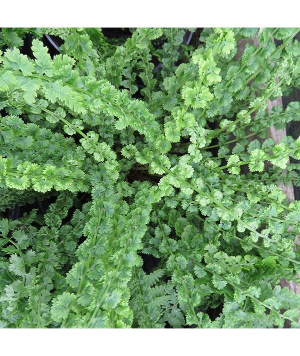 Athyrium filix-femina Frizelliae (1.5lt)