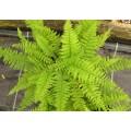 Athyrium filix-femina Rotstiel (1.5lt)