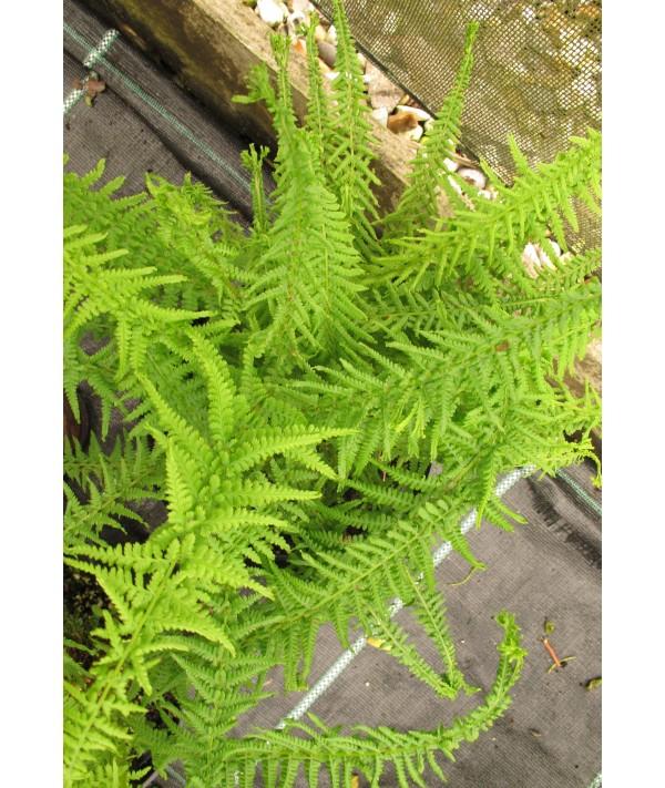 Athyrium filix-femina Victoriae (2lt)