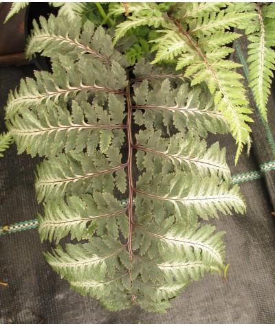 Athyrium niponicum metalicum (2lt)