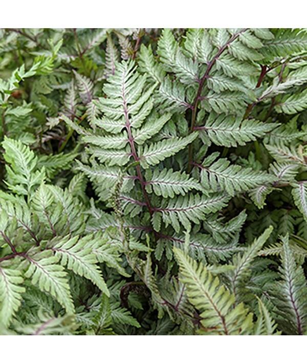 Athyrium niponicum Pewter Lace (1.5lt)