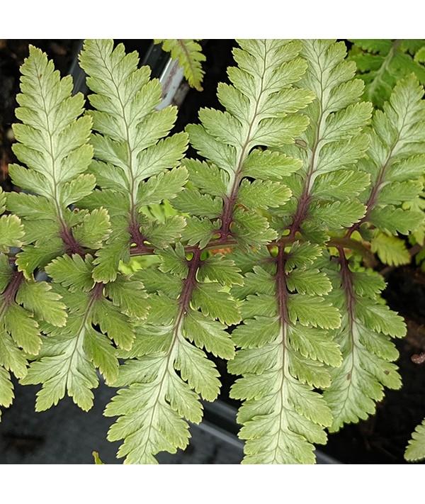 Athyrium niponicum pictum Red Beauty (1.5lt)