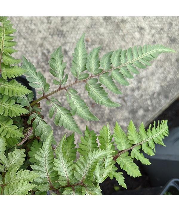 Athyrium niponicum Silver Falls (1.5lt)