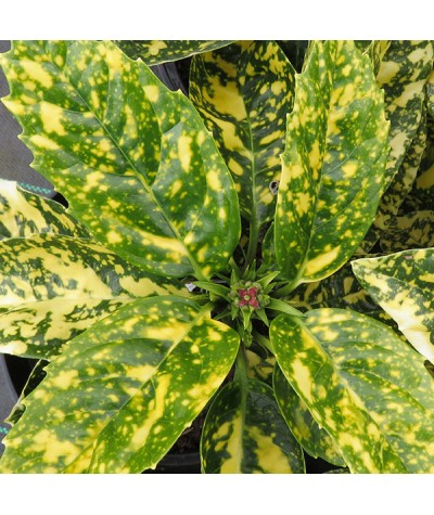 Aucuba japonica Crotonifolia (3lt)