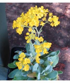 Aurinia saxatilis Gold Ball (1lt)