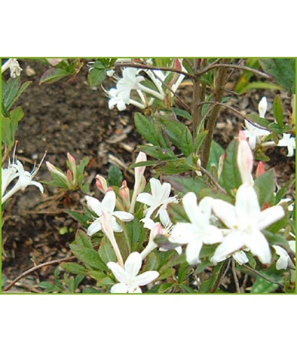 Rhododendron (Azalea) Snowbird (7.5lt)