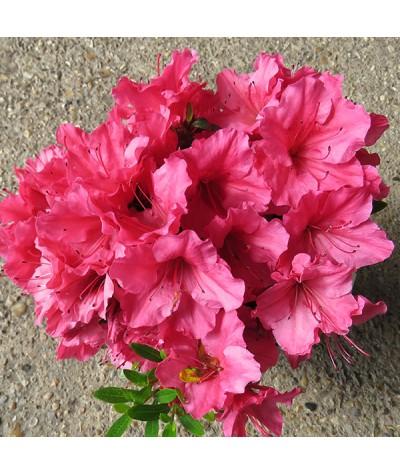 Rhododendron (Azalea) Vida Brown (3lt)