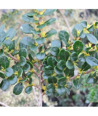 Azara microphylla (3lt)