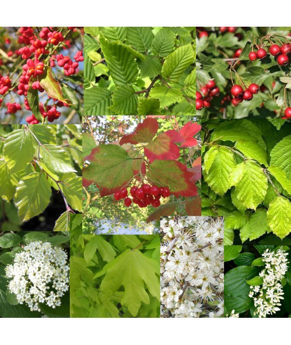 Mixed Native Hedging x 10 plants (bare root)
