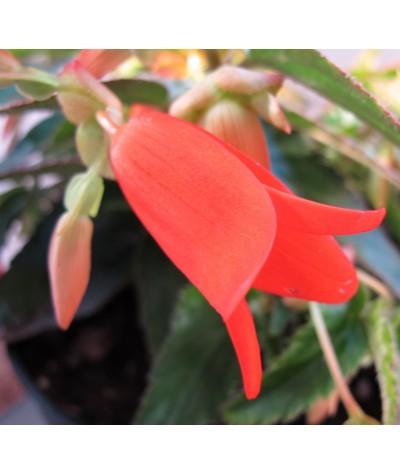 Begonia Bonfire (3lt)