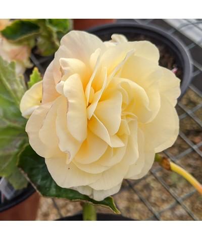 Begonia Chardonnay (1lt)