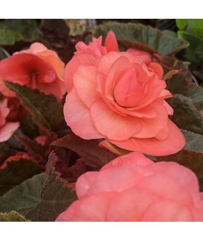 Begonia Sweet Spice English Rose (1lt)
