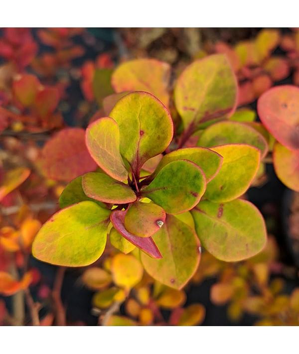 Berberis thunbergii (40-60cm bare root)