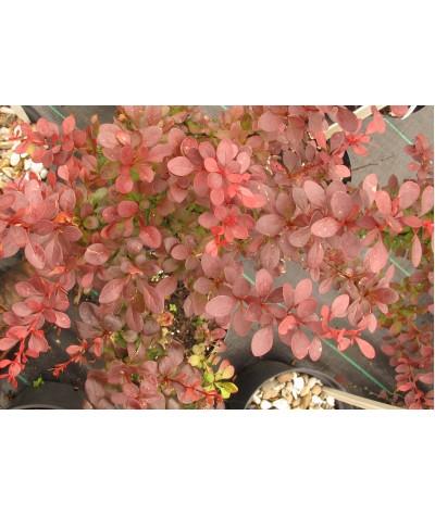 Berberis thunbergii Atropurpurea (3lt)