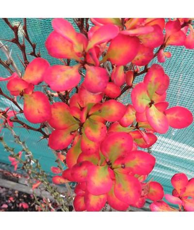 Berberis thunbergii Pow-wow (7.5lt)