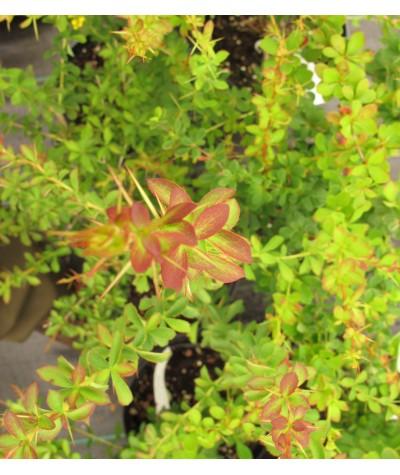 Berberis wilsoniae (3lt)