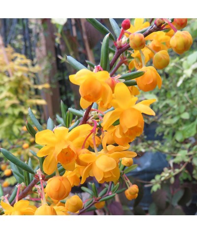 Berberis x stenophylla (7.5lt)