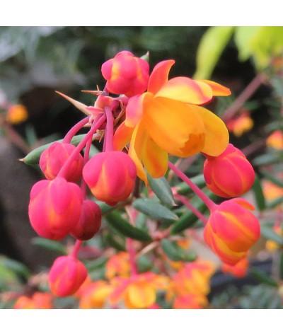 Berberis x stenophylla claret cascade (3lt)