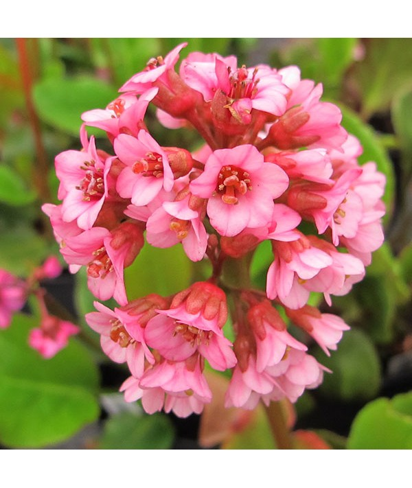 Bergenia Edens Magic Giant (1lt)
