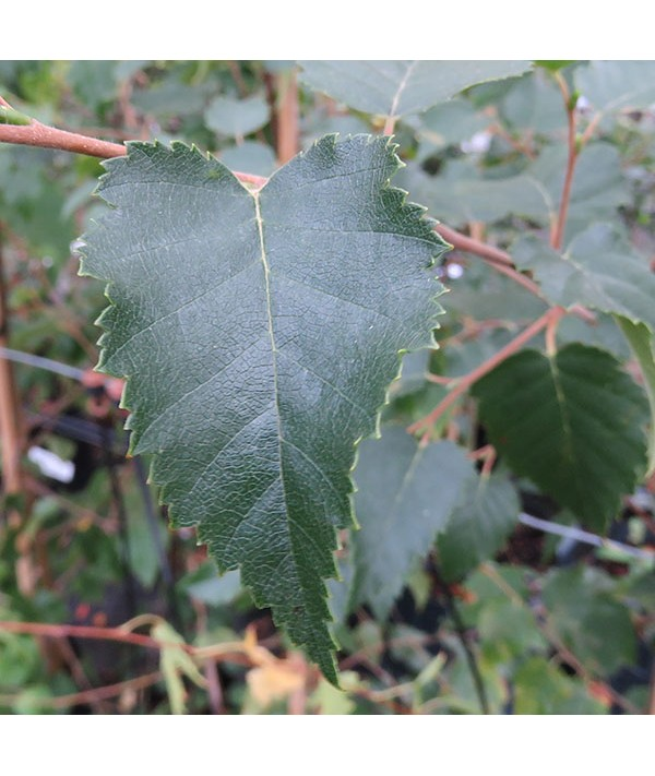 Betula ermanii (13.5lt)