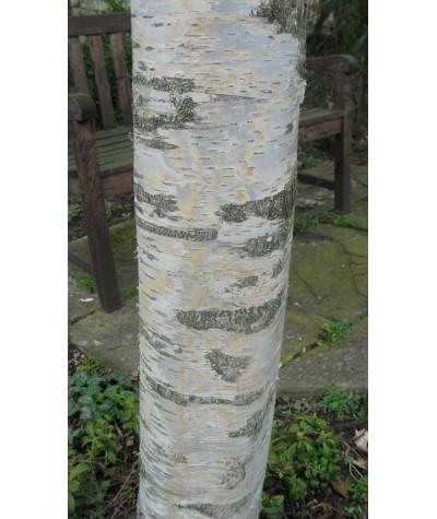 Betula pendula Purpurea (17.5lt)