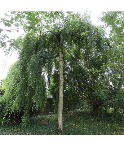 Betula pendula Youngii (50lt)