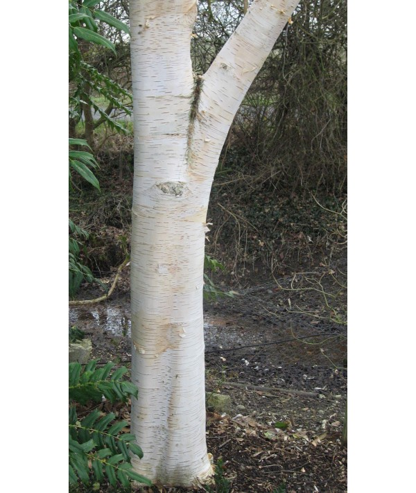Betula utilis jacquemontii Doorenbos (10lt)