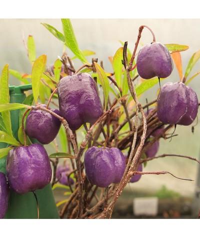 Billarderia longiflora (3lt)