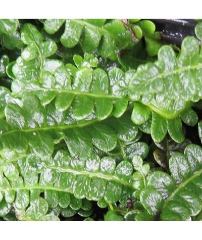 Woodwardia fimbriata (1lt)