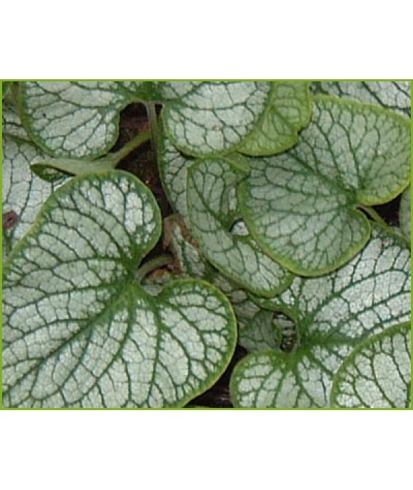 Brunnera macrophylla Jack Frost (1lt)