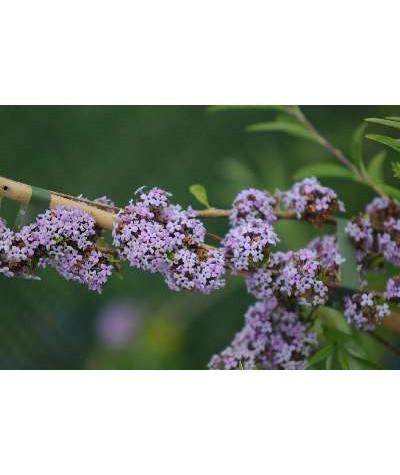Buddleja alternifolia Argentea (3lt)