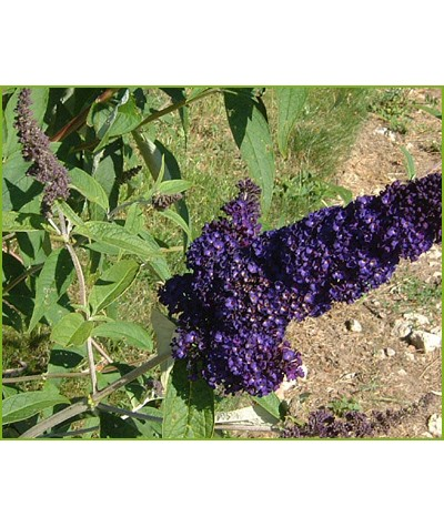 Buddleja davidii Black Knight (2lt)
