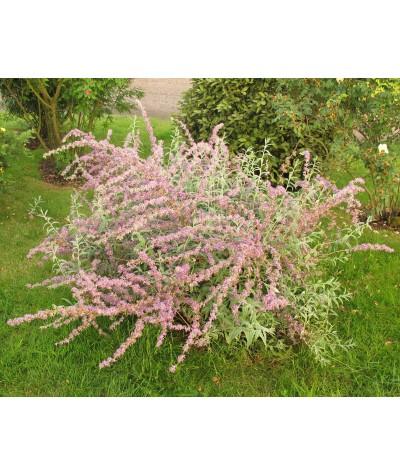 Buddleja alternifolia Argentea (1lt)