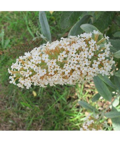 Buddleja davidii White Ball (3lt)