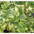 Buxus sempervirens Elegantissima (1.5lt)