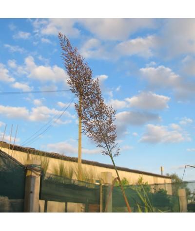 Calamagrostis brachytricha (1.5lt)