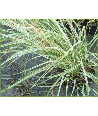 Calamagrostis x acutiflora Overdam (1.5lt)