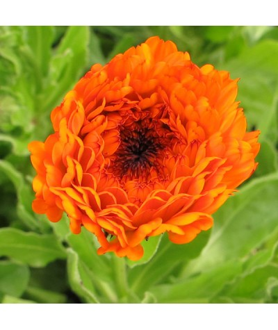 Calendula officionalis (0.8lt)