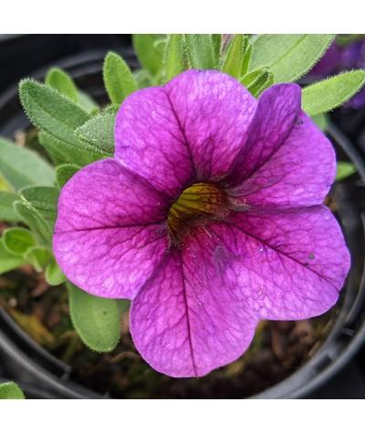 Calibrachoa superbells unique Lilac (9cm)