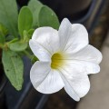 Calibrachoa Superbells Unique White (9cm)