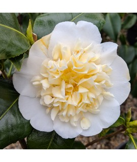 Camellia japonica Brushfields Yellow (3lt)