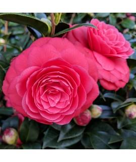Camellia Black Lace (3lt)