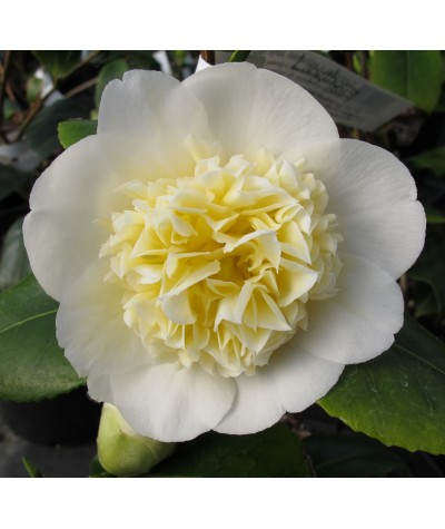 Camellia japonica Brushfields Yellow (3lt)