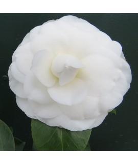 Camellia japonica Nuiccio's Gem (3lt)