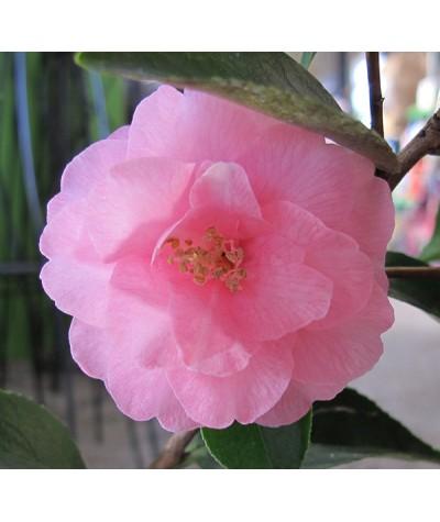 Camellia Spring Festival (3lt)